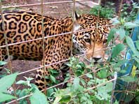 Photo of a Spotted Leopard at Quito Zoo